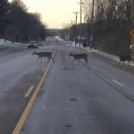 """""""Jeleni so prečkali cesto tik pred znakom, ki voznike opozarja, da se to lahko zgodi."""""""